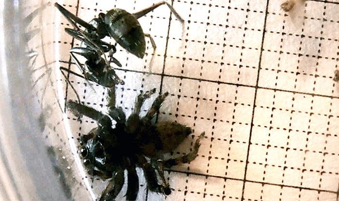 動画:「アンダソン氏(ハエトリ蜘蛛)とクロアリの攻防」のひとコマを撮影した写真画像 ※劣勢に見える下側のデップリ系がアダンソンハエトリの裏側