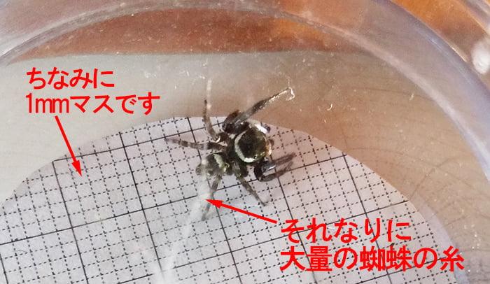 アダンソンハエトリの実力検証実験の翌日の様子を撮影した写真画像:それなりに大量の蜘蛛の糸が夜間に発せられたことを想起させる、解説コメント入り写真画像