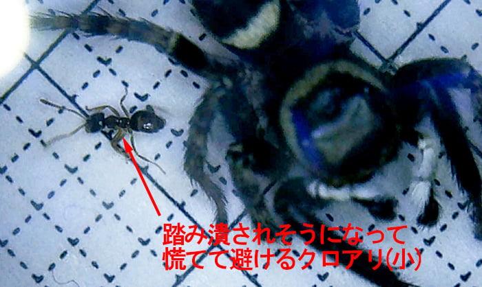 アダンソンハエトリに踏み潰されそうになって退避する小さいクロアリを撮影したコメント入り写真画像