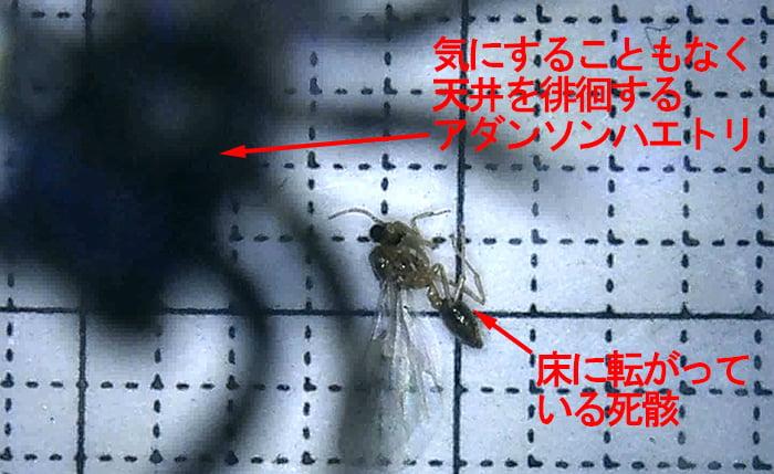 アダンソンハエトリ実力検証ケース内の、床の羽アリ死骸と天井面をうろつくアダンソンの影を撮影したコメント入り写真画像