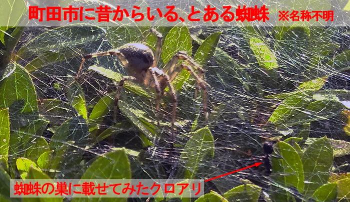 つい先ほど町田市にて撮影してきたアダンソンハエトリではない、町田市に昔からいる蜘蛛と、クモの巣に載せてみたクロアリ